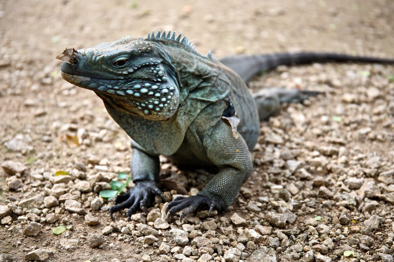Blue Iguana, Queen Elizabeth II Botanical Gardens, Grand Cayman, Katie Heath, KALANCHOE