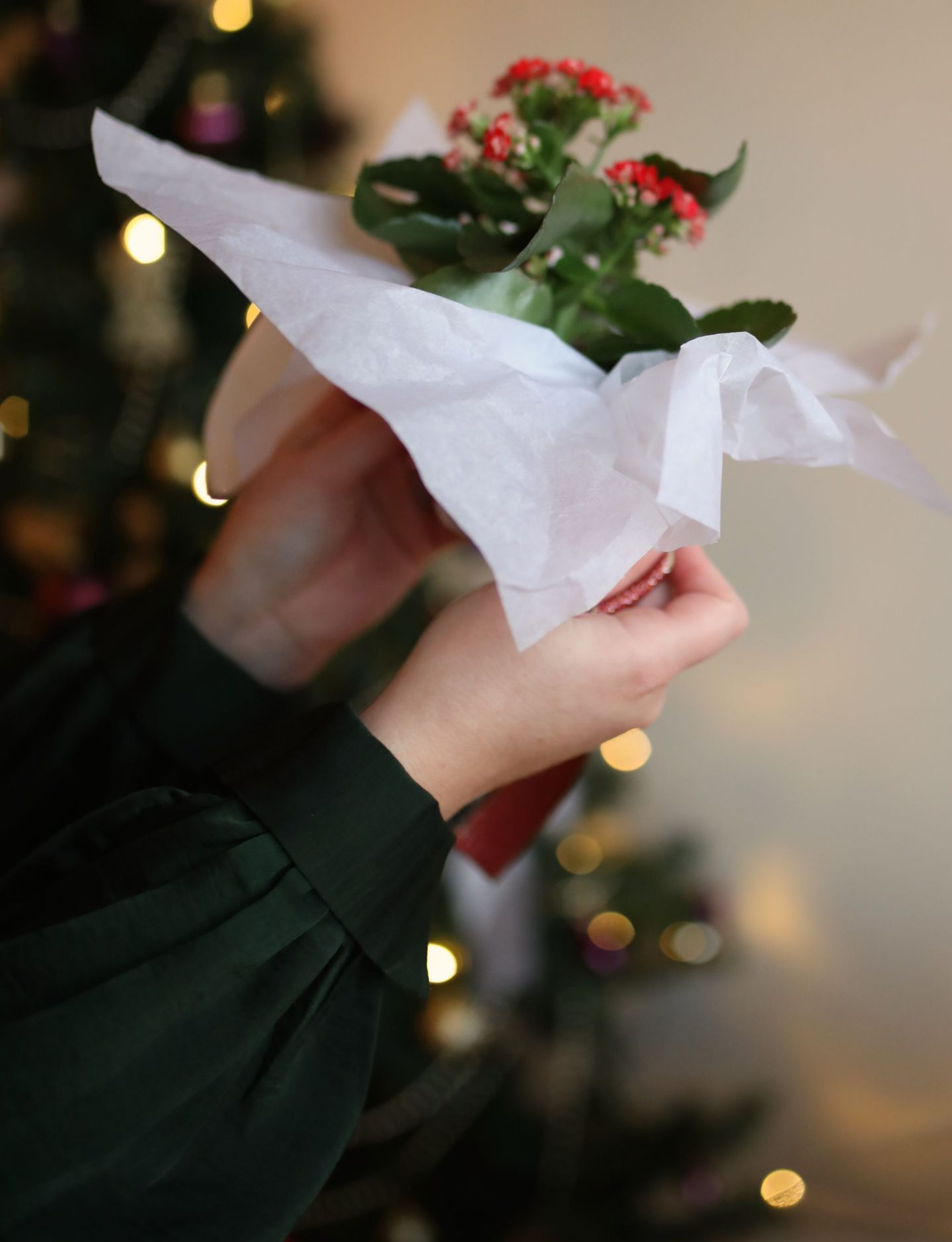 An easy DIY Festive Host Gift for Christmas using Kalanchoes - Katie Kalanchoe