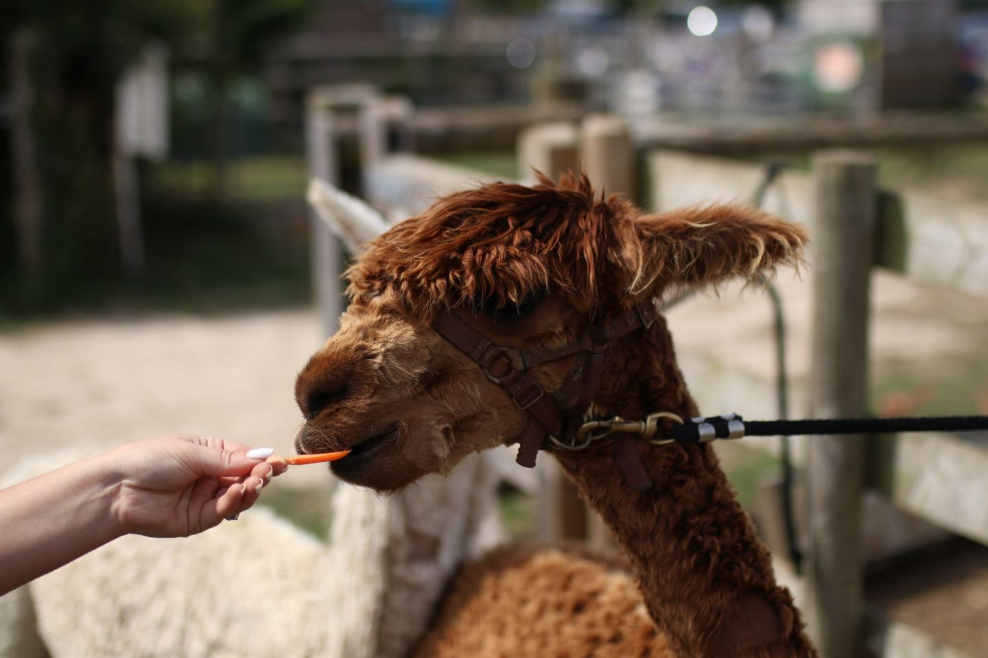 Katie Heath, KALANCHOE, Isle of Wight, The Alpaca Farm