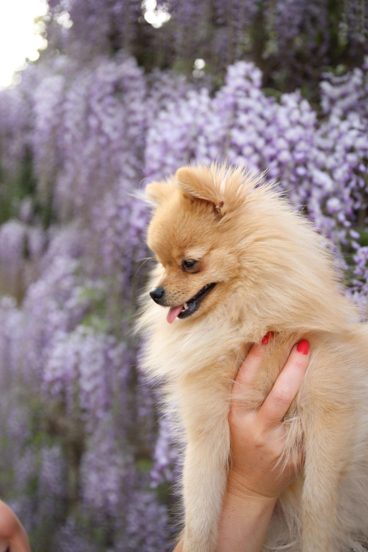 Katie KALANCHOE, Cute Pomeranian Pepi the Pom, Pepita