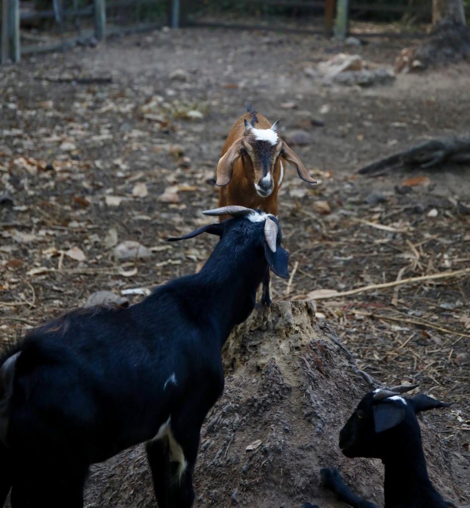 The Farm Animals at Belmond Napasai in Koh Samui Thailand, Katie KALANCHOE